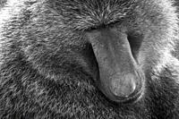 The Olive baboon (Papio anubis), also called the Anubis baboon, Nakuru National Park, Kenya Nakuru National Park,.