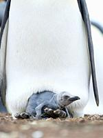 Chick balancing on the feet of a parent. King Penguin (Aptenodytes patagonicus) on the Falkland Islands in the South Atlantic. South America, Falkland...