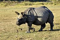 one horned rhino grazing in a park.