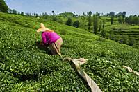 Turkey, the Black Sea region, tea plantation in the hills near Trabzon in Anatolia.
