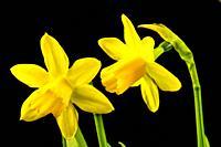 daffodil flowers in spring in Germany.