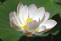 Sacred lotus (Nelumbo nucifera). Known also as Indian Lotus, Bean of India and Lotus.