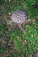Old man of the woods (Strobilomyces strobilaceus). Another scientific name is Strobilomyces floccopus.