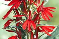 Cardinal flower (Lobelia cardinalis).