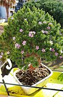 Syzygium buxifolium (Myrtaceae) bonsai. Syzygium bonsai are well suited as indoor bonsai. Indoor Syzygium should be kept very light, not too hot and n...