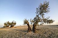 Olive trees in the country of Pinto early in a winter morning. Madrid. Spain. Europe.