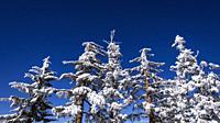 Snow flurries and rime ice on pines in the San Bernardino Mountains, San Bernardino National Forest, California USA.