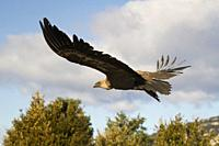 Griffon Vulture (Gyps fulvus) taking off. Lleida province. Catalonia. Spain.
