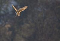 Barn Owl-Tyto alba hovers. Winter. Uk.