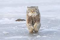 Asia, Mongolia, East Mongolia, Steppe area, Pallas's cat (Otocolobus manul), moving, running.