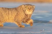 Asia, Mongolia, East Mongolia, Steppe area, Pallas's cat (Otocolobus manul), moving, walking.
