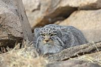 Asia, Mongolia, East Mongolia, Steppe area, Pallas's cat (Otocolobus manul), resting, lying down.