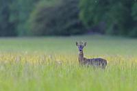 Western roe deer (Capreolus capreolus) in summer, Roebuck, Germany, Europe.