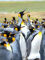 Adult runnig through rookery while being pecked at by neighbours. King Penguin (Aptenodytes patagonicus) on the Falkland Islands in the South Atlantic...