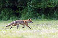 Red fox (Vulpes vulpes) with mouses on mowed meadow, Hesse, Germany, Europe.