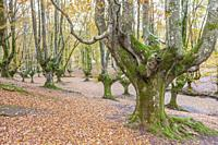 Beech trees forest of Otzarreta, Natural Park of Gorbeia, Vizcaya, Spain.