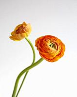 A pair of orange rununculus flowers photographed against a white background.