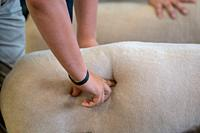 Child's hand presses into sheep's side during sheep judging, Timonium, Maryland.