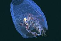 Deep sea. Arthropoda. Crustacean. Pelagic Amphipod. Pram Bug Amphipod (Phronima sedentaria) within a salp. Eastern Atlantic. Galicia. Spain. Europe. A...