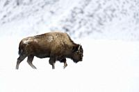 American bison ( Bison bison ) bull in winter, walking through snow, Yellowstone Area, Montana, USA. .