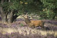 Red Deer ( Cervus elaphus ), strong stag, threatening a rival through display behaviour, rut in purplish blooming heather.