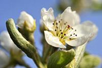 Pear tree in flower (Pyrus communis), Eure-et-Loir department, Centre-Val de Loire region, France, Europe.