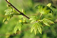 young leaves of sycamore (Acer pseudoplatanus), Eure-et-Loir department, Centre-Val de Loire region, France, Europe.