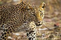 Leopard, Panthera pardus, Panna National Park, MadhyaPradesh, India.