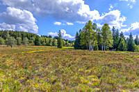 nearly treeless heather landscape with blooming Erica, Northern Black Forest, Germany, landform grinde between Schliffkopf and Zuflucht, community of ...