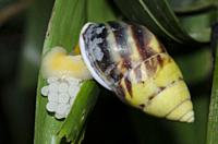 Snail (Amphidromus perversus) laying eggs on leaf, Klungkung, Bali, Indonesia.