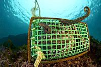 Professional fishing. Professional octopus traps. . Octopus (Octopus vulgaris). Eastern Atlantic. Galicia. Spain. Europe.