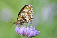 Nickerl's Fritillary, Melitaea aurelia, checquered fritillary found in nutrient poor grasslands, calcareous fens and rocky slopes and scrubland. Larva...