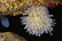 Ascidian,Tunicate, Football Sea squirt, Football Ascidian (Diazona violacea). Eastern Atlantic. Galicia. Spain. Europe.