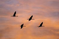 Common Crane (Grus grus) flying in to land at sunset. Gallocanta lagoon. Zaragoza province. Aragon. Spain.