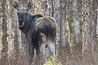 Moose, Alces alces, standing among birch trees and turning his head and looking in to the camera, Gällivare county, Swedish Lapland, Sweden.