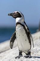 African penguin, Spheniscus demersus, standing on a rock and enjoying the sun, at Simonstown, South Africa.