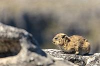 Rock badger, dassie, Procavia capensis, lying on a rock basking in the sun, Table mountain, Cape Town, South Africa.