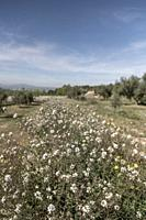 White flowers in the countryside, tivissa, spain