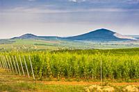 wineyard near Villany, Hungary.