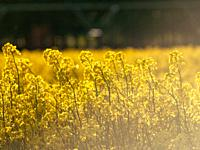 A rapeseed field in bloom (Brassica napus) in spring in Salamanca for the production of rapeseed oil and biodiesel.
