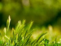 Green grass in spring with bokeh background.