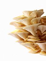 Fresh picked edible yellow or golden oyster mushrooms (Pleurotus citrinopileatus) in a grow box against a white background.