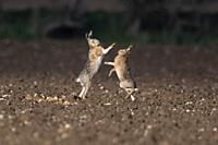 European Brown Hares- Lepus europaeus box. Spring. Uk.