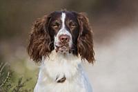 Portrait of a English Springer Spaniel Dog-Canis lupus familiaris.