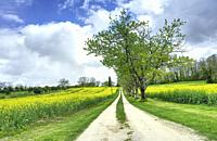 rapeseed, Brassica napus, on farm near Saint Innocence, Dordogne Department, Nouvelle Aquitaine, France.