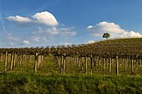 View of the winding hills over the vineyards and clouds in the Langhe Piedmont, the sky is blue, on the top a tree.