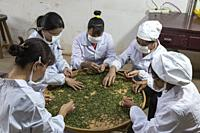 Yiliang, China - March 23, 2019: Female workers selectingthe best tea leaves in a Baohong Tea production processing laboratory.