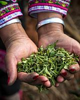 Woman's hands holding tea in Yunnan, China. Woman is dressed with a minority attire.