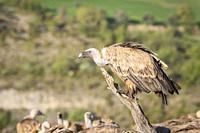 Griffon Vulture (Gyps fulvus) portrait. Lleida province. Catalonia. Spain.