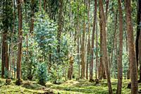 A dense Eucalyptus grove, Kinigi, Rwanda.